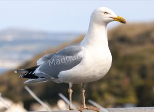 Птица чайка