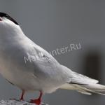 Птица крачка