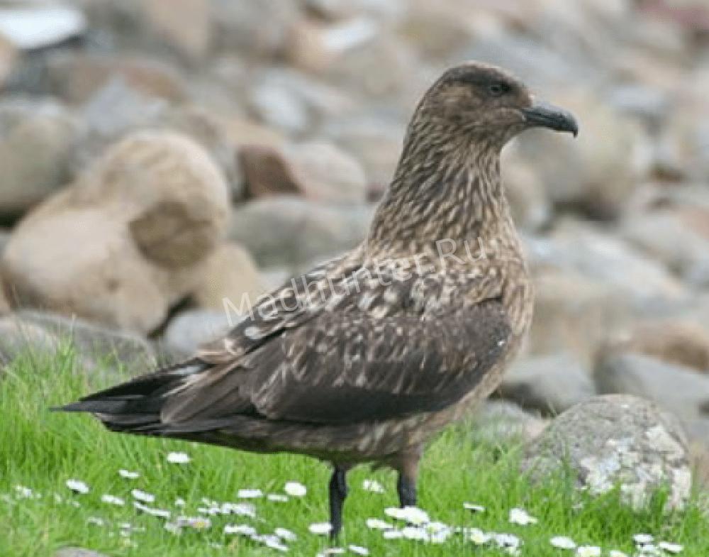 Птица поморник