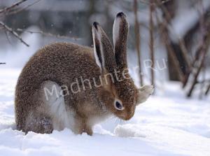Секреты удачной охоты на зайца