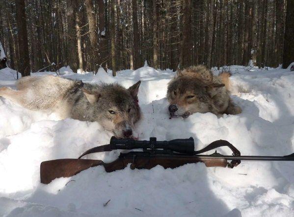 В Перми, в скором времени, начнется всеразрешенный отстрел волков