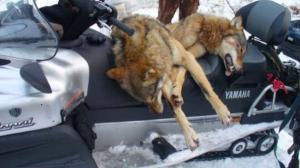 Власти Ярославля организовали массовый отстрел волков