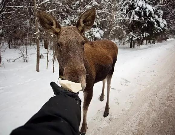 Московских лосей по зиме считают