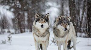 На Алтае популяция волков снижается: уже убито более 600 особей