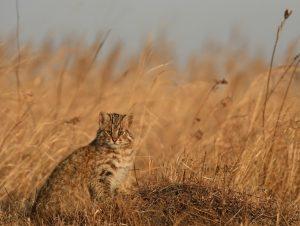 Охота на краснокнижных кошек разрешена фотоаппаратом