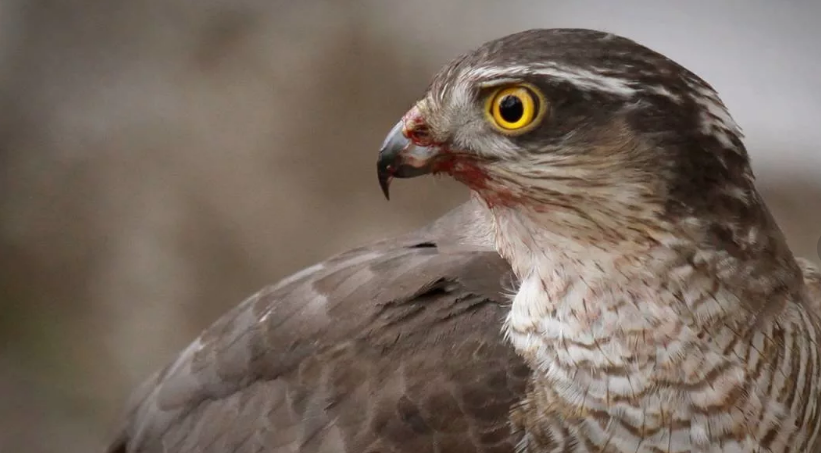 Подмосковный ястреб нападает на местных голубей