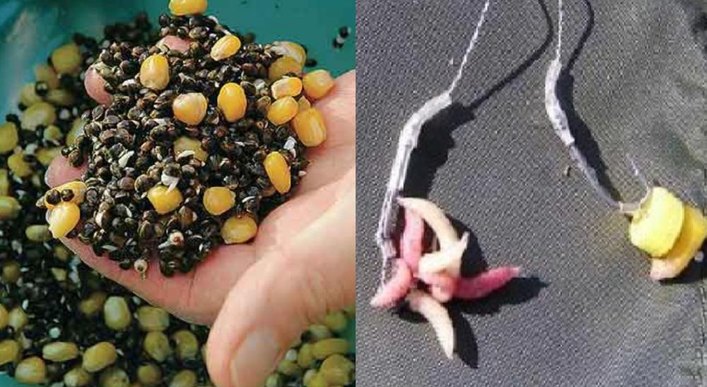 Приманки и прикорм при ловле сазана весной