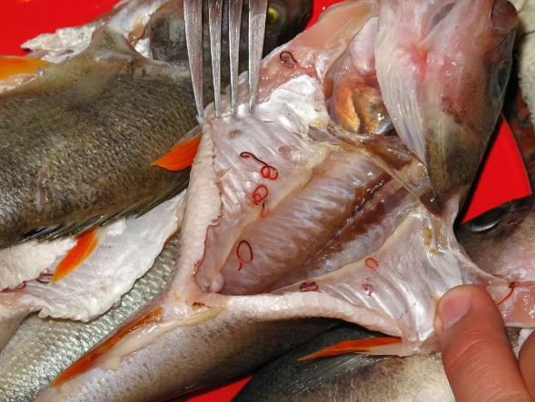 Тюменский рыбак заразил 15 местных жителей описторхозом