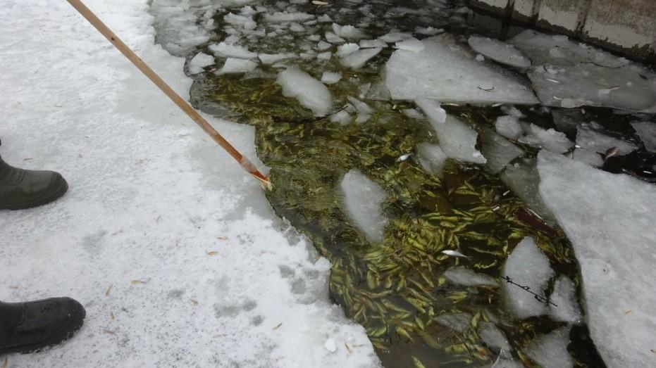 В Чебоксарах может погибнуть вся рыба массовая гибель уже началась