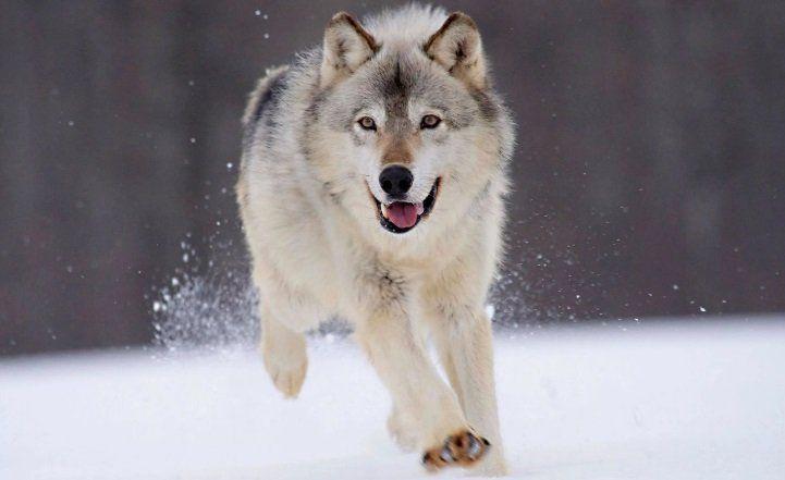 Власти Коми решают о вознаграждении за то, что местные жители будут помогать отстреливать волков
