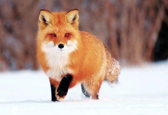 Чтобы остановить эпидемию бешенства – будут отстреливать лис