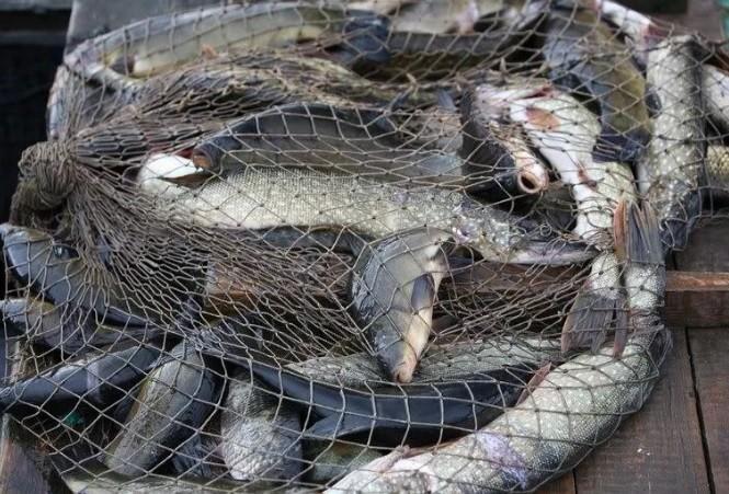 Ейские браконьеры выловили из лимана более 600 особей рыбы