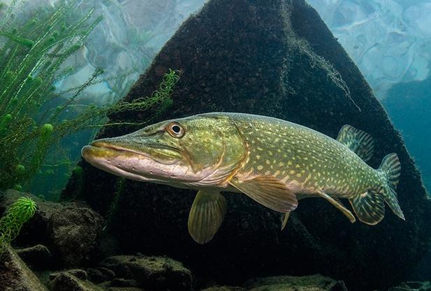 Как рыбакам из Тюмени удалось увеличить количество рыбы в водах Тюмени