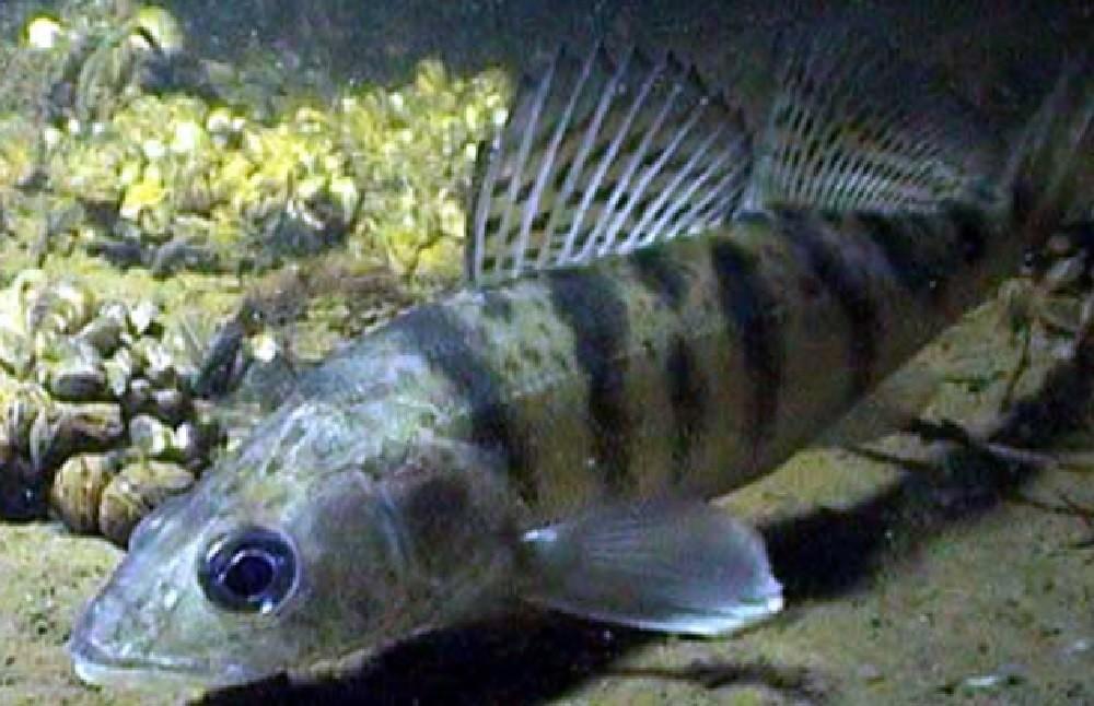 Ловля судака весной - особенности поведения рыбы