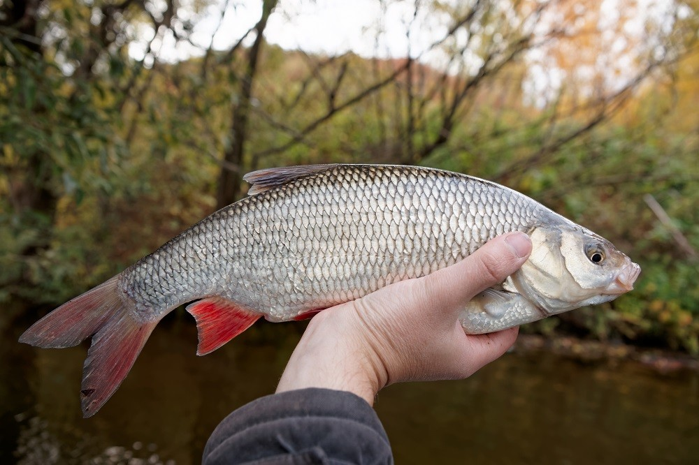 Ловля язя - майская рыбалка
