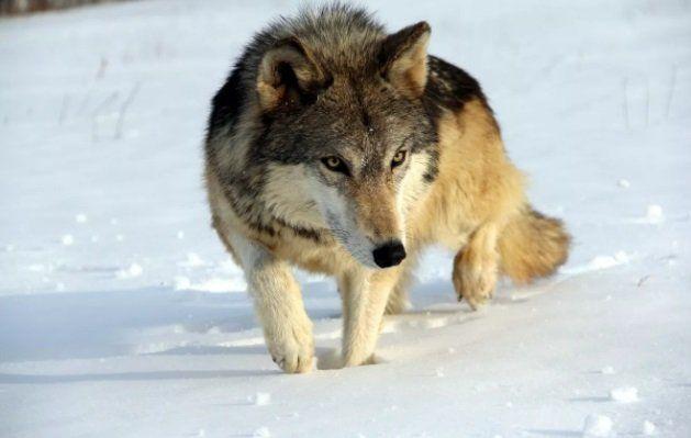Получить обещанное вознаграждение за волка возможно – но, предъявив документы