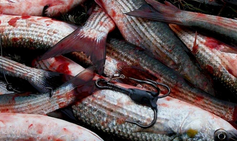 Рыбацкая гирлянда из тройников – браконьерское оружие