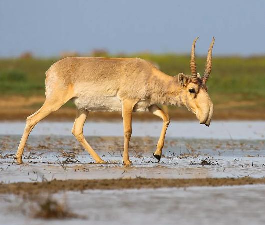 В Казахстане браконьеры убили целое стадо сайгаков