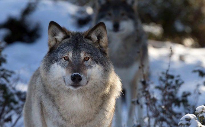 В Пскове началась охота на волков по телефону
