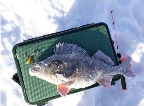 Зимний сезон рыбалки в сызранские рыбаки закончили гигантской рыбой