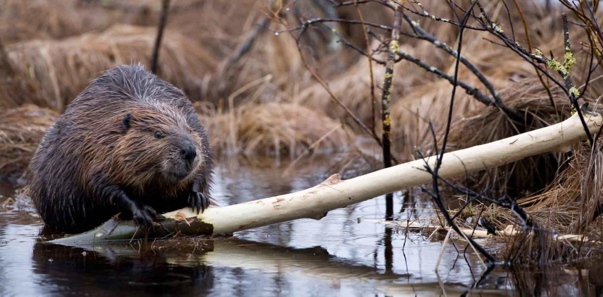 Бобры – вредители угрожают калининградской природе