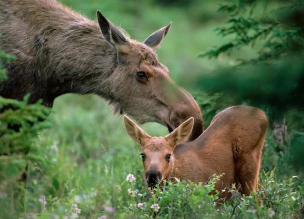 Браконьеры покусились на жизнь беременных животных