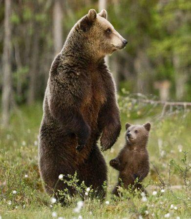 Бурый медведь на страже порядка города Саров