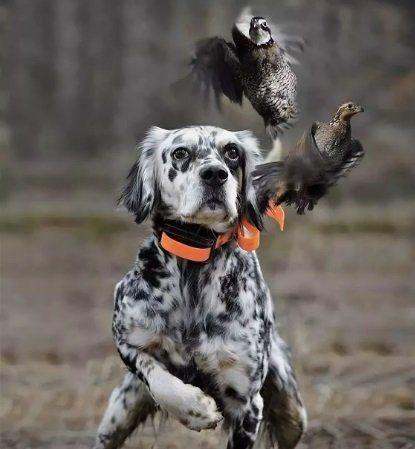 Нерадивый охотник открыл пальбу по собакам