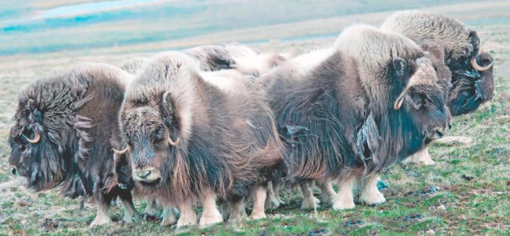 Описание овцебыка