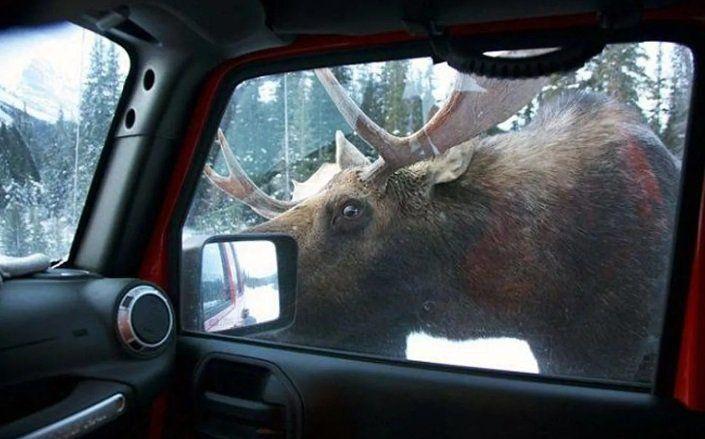 Пьяный охотник катал на своем автомобиле спящего лося