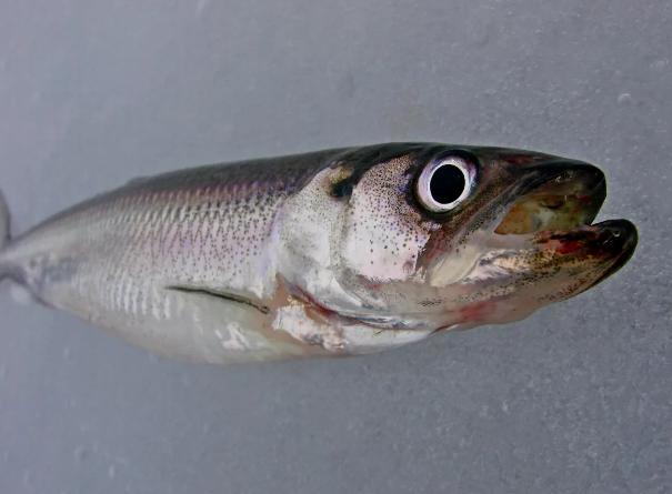 Рыбакам из Ленинграда удалось добыть ¼ допустимого объема рыбы