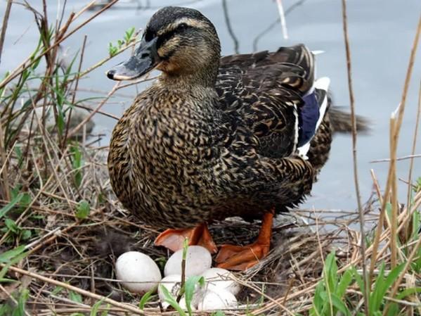 Ученые Якутии для диких уток соорудили искусственные места гнездования