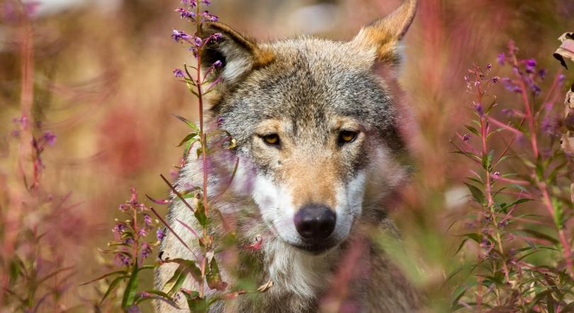 За добытых волков власти стали выплачивать вознаграждения
