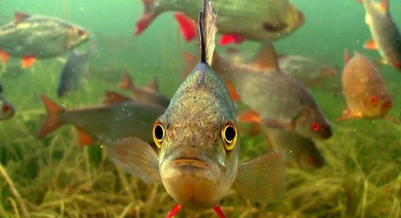 писает ли речная рыба