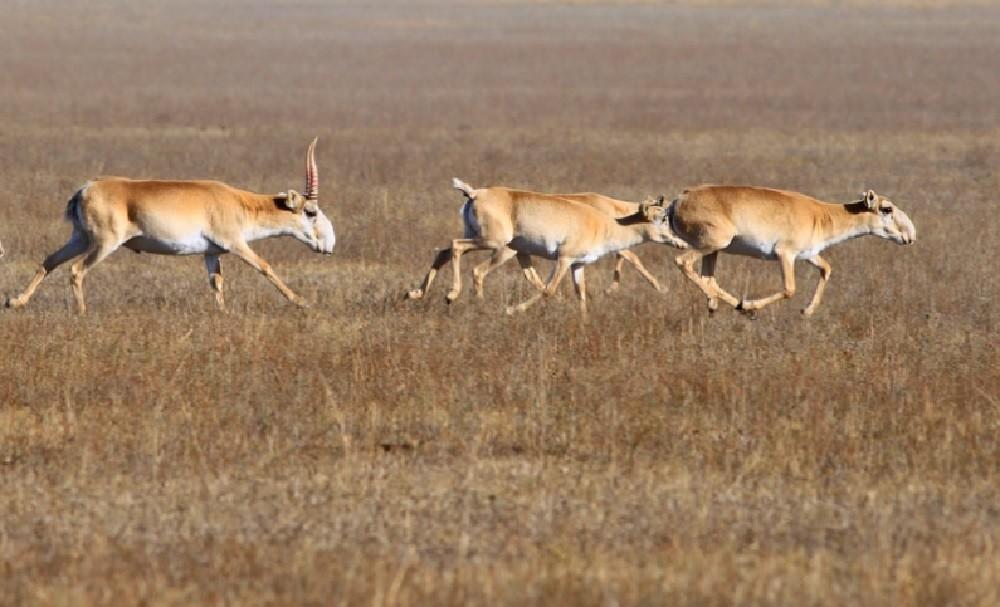 Ареал и места обитания сайгаков