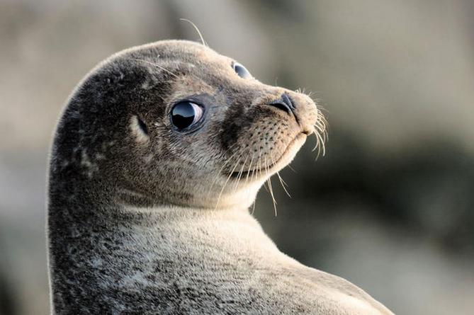 Каспийский тюлень теперь краснокнижное животное
