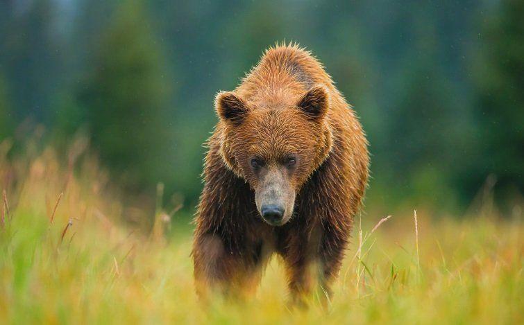 Массовый отстрел медведей будет произведен в Красноярском крае