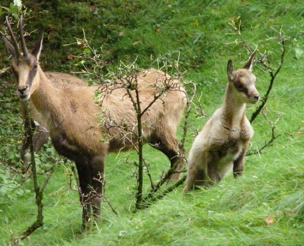 Размножение и потомство серн