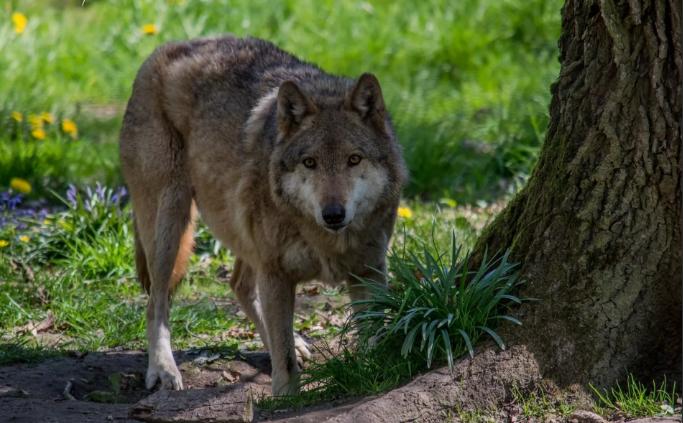 Саратовские леса страдают от переизбытка волков