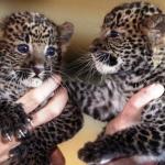 Сочи в заповедник «Алания» в «свободное плавание» выпустит малышей леопардов