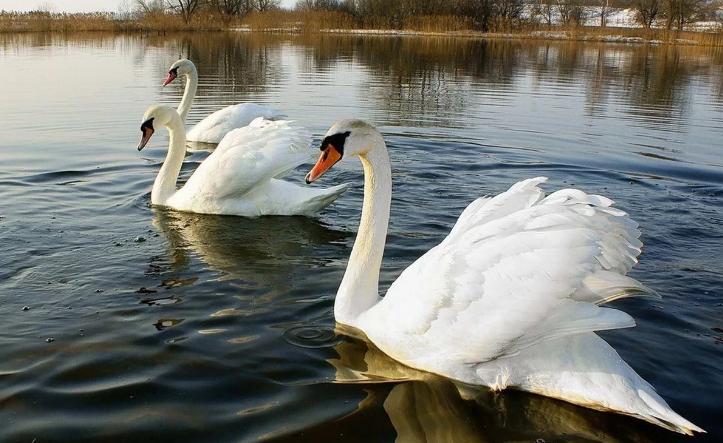 В Архангельске случилось редчайшее событие – прилетели лебеди
