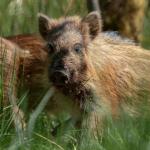 В Самаре охотникам разрешать охоту на 65 диких кабанов