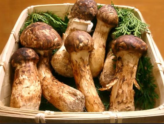 гриб мацутакэ