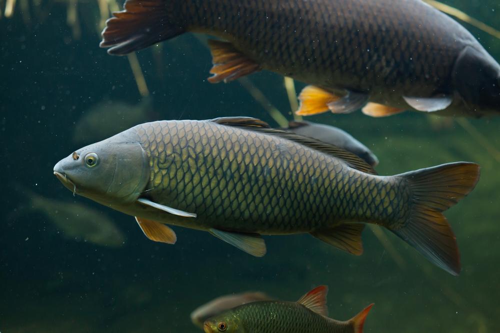 Ловля сазана летом - особенности поведения рыбы