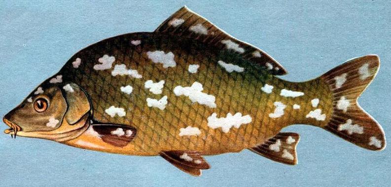 рыбья оспа