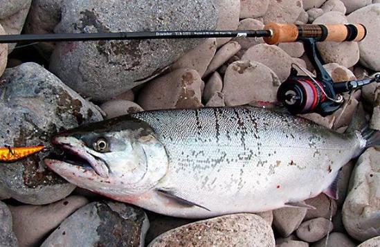 На Калыме рыбаки ловят горбушу без лицензий