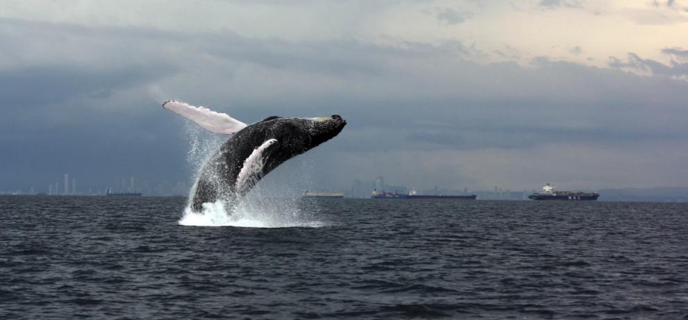 На рыбалке рыбаки повстречали горбатых китов