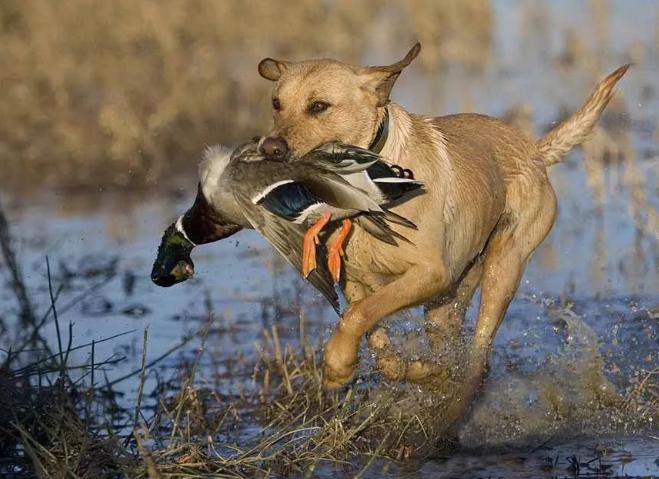 Петербуржцев волнует судьба уток, на которых нападают дикие собаки