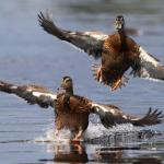 Разрешат ли челябинским охотникам весеннюю охоту?