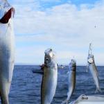 Рыбаки все чаще стали выбрасывать свой улов